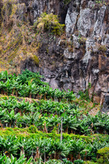 banana plantation on the hill