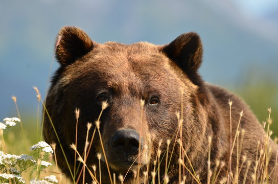 Brown or grizzly bear surrounded by beautiful Alaskan mountains