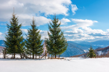 three fir trees on the snowy meadow in wintertime.  beautiful alpine scenery on a sunny day in mountains. wonderful weather with fluffy clouds on a blue sky