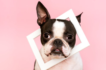 Boston Terrier with a white wooden frame on the neck on a pink background. Postcard. Trend.