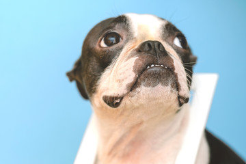 Boston Terrier with white wooden frame on neck looking up on blue background background. Postcard. Trend.
