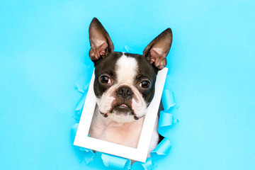 The head of a Boston Terrier with a white frame around its neck peeks out from a torn paper hole.