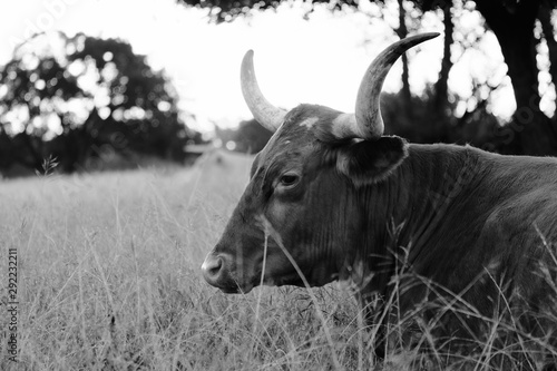 Wall mural Texas Longhorn cow lying in native grass pasture, black and white bovine portrait.