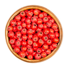 European rowan fruits in wooden bowl. Fresh ripe red seeds. Sorbus aucuparia, also mountain-ash. Fruits are used for jam or liqueur. Closeup from above, on white background, isolated macro food photo.