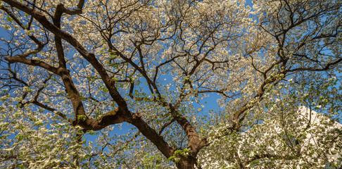 Flowering Dogwood, Atlanta, Georgia