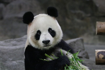 Beautiful Female Panda , Gong Zhu, Shanghai, China