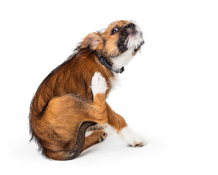 Itchy Terrier Puppy Dog Scratching