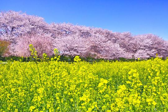 埼玉県幸手市の満開の桜が咲く幸手権現堂堤の景色
