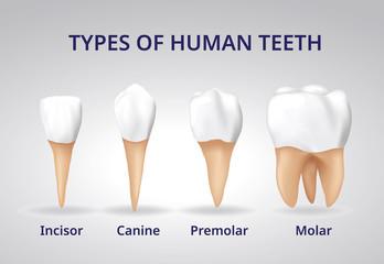 Types of Human Teeth, Human bone anatomy, 3D Realistic design vector.