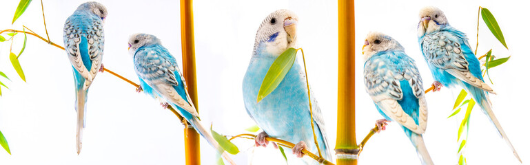 blue wavy parrots isolated on a white background