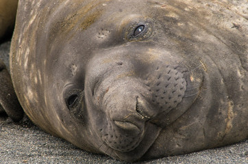 Close up of the Face of a Young Elephant Seal