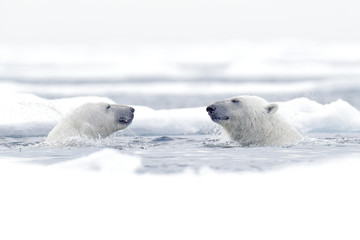 Polar bear dancing on the ice. Two Polar bears love on drifting ice with snow, white animals in the nature habitat, Svalbard, Norway. Animals playing in snow, Arctic wildlife. Funny image from nature. Wall mural