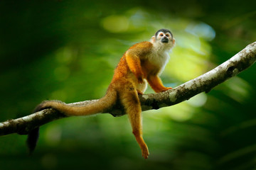 Monkey, long tail in tropic forest. Squirrel monkey, Saimiri oerstedii, sitting on the tree trunk with green leaves, Corcovado NP, Costa Rica. Monkey in the tropic forest vegetation. Wildlife nature. Wall mural