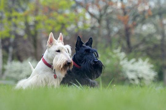 Black and white dog. Beautiful scottish terriers, sitting on green grass lawn, forest in the background, Scotland, United Kingdom. Pair of black and white animals in the garden.