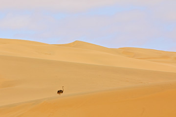 Ostrich in the sand dune habitat with blue sky. Common ostrich, Struthio camelus, big bird feeding...