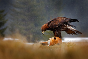 Wall Mural - Golden Eagle feeding on kill Red Fox in the forest during rain and snowfall. Bird behaviour in the nature.  Action food scene with brown bird of prey, eagle with catch, Sweden, Europe.