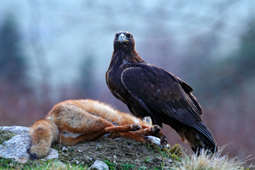 Wall Mural - Forest hunter. Golden Eagle feeding on kill Red Fox in the forest. Bird behaviour in the nature.  Action food scene with brown bird of prey, eagle with catch, Germany, Europe. First snow.