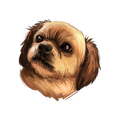 Tibetan Spaniel dog breed portrait isolated on white. Digital art illustration, animal watercolor drawing of hand drawn doggy for web. Pic of assertive and small pet with gold coat and dark ears