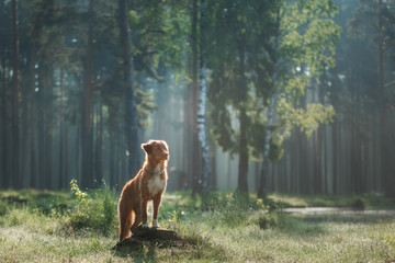 dog in a foggy forest. Walk with your pet. Nova Scotia Duck Tolling Retriever in nature