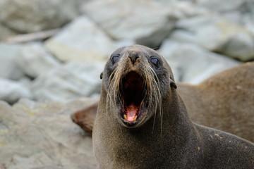 New Zealand fur seal near Kaikoura, New Zealand
