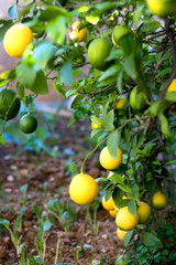 Lemon tree in a garden. Selective focus.