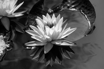 Fond de hotte en verre imprimé Nénuphars black and white blooming Lotus flower or Water lily in the park.