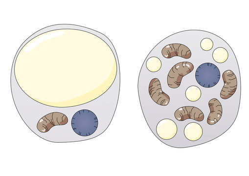 White and brown fat cells anatomy, digital illustration. Brown fat cells have more mitochondria