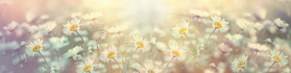 Aluminium Prints Floral Selective and soft focus on daisy flower in meadow, beautiful nature in spring