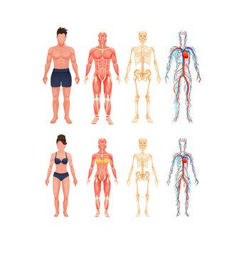 Human body anatomy man and woman vector