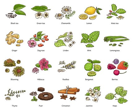 Hand drawn types of loose leaf tea and decoration