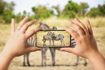 Safari concept. Tourist in Safari car looking at zebra couple and making photos with a mobile phone. Masai Mara national park, Kenya.