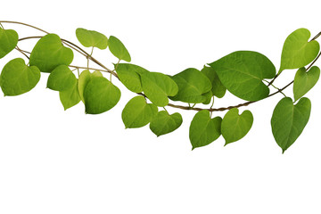 Wall Mural - Twisted  jungle vine climbing plant with heart shaped green yellow leaves isolated on white background with clipping path, Cowslip creeper (Telosma cordata) the tropical forest medicinal herbal plant.