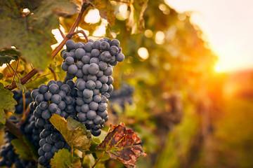 Blue grapes at sunset in autumn vineyard Fototapete