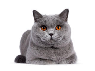 Wall Mural - Impressive light blue young adult British Shorthair female cat, laying down facing front. Looking with bright orange eyes straight to camera. Isolated on white background.