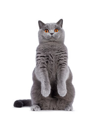 Wall Mural - Impressive light blue young adult British Shorthair female cat, sitting up on hind paws facing front like meerkat. Looking with cute head tilt and bright orange eyes straight to camera. Isolated on wh