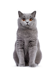 Wall Mural - Impressive light blue young adult British Shorthair female cat, sitting up facing front. Looking with cute head tilt and bright orange eyes straight to camera. Isolated on white background.