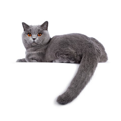Wall Mural - Impressive light blue young adult British Shorthair female cat, laying down side ways. Looking with bright orange eyes straight to camera. Isolated on white background. Tail hanging down from edge.