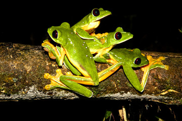 gliding tree frogs (Agalychnis spurrelli) or gliding leaf frog or spurrell's leaf frog. Four male frogs fighting on a branch. Photo taken at Corcovado national park, Osa Peninsula, Costa Rica.