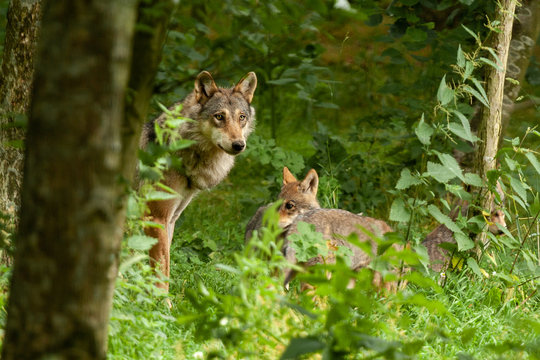 a mother wolf tucked in the woods with her young