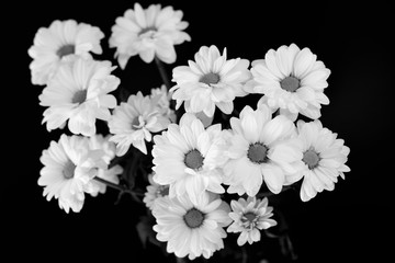 Black and white picture of marguerites on black background. Top view