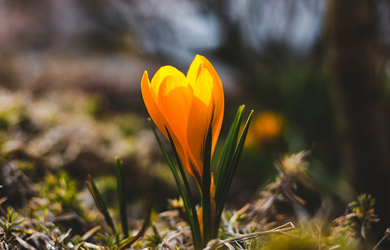 yellow crocus flower spring blossom