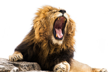 Yawning / Roaring lion against white background
