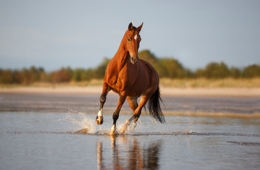 Photo sur Plexiglas Chevaux horse on the beach