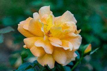 Detailed portrait of a single yellow german Goldelse floribunda rose head with a green bokeh background