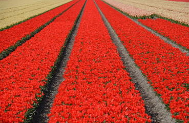 Poster de jardin Rouge View of tulip fields in spring, located between the cities of Lisse and Sassenheim, province Zuid-Holland, Netherlands