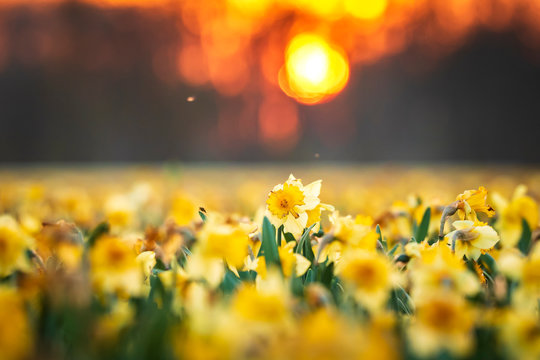 Colorful blooming flower field with yellow Narcissus or daffodil closeup during sunset.