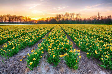 Colorful blooming flower field with yellow Narcissus or daffodil during sunset.