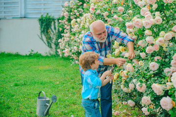 Flower rose care and watering. Grandfather with grandson gardening together. Grandfather working in garden near flowers garden. Gardener in the garden.