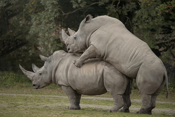 Poster de jardin Rhino Two rhinoceros making love