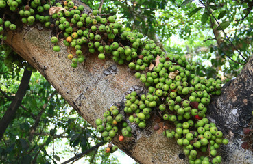 Common fig (Ficus carica) fruit on tree in Indonesia.